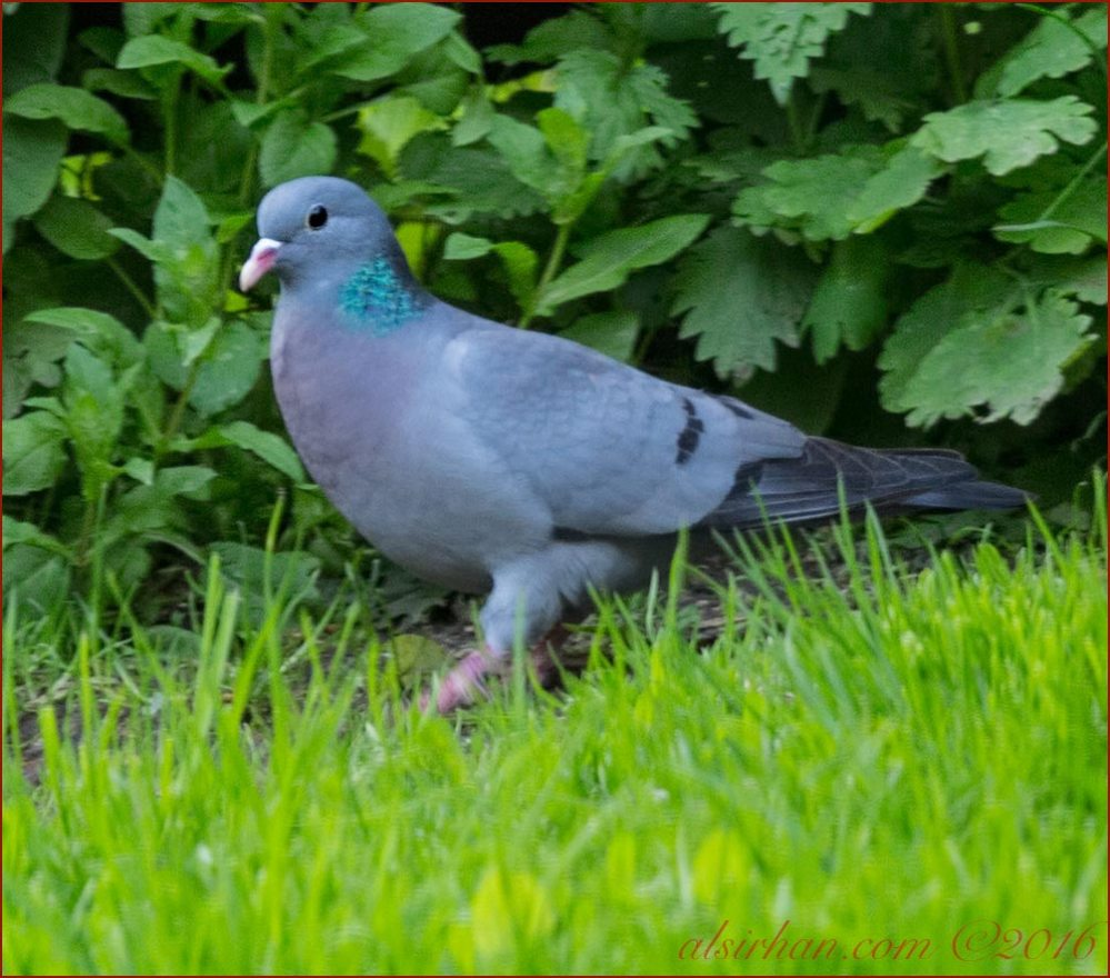 Stock Dove is moving forward