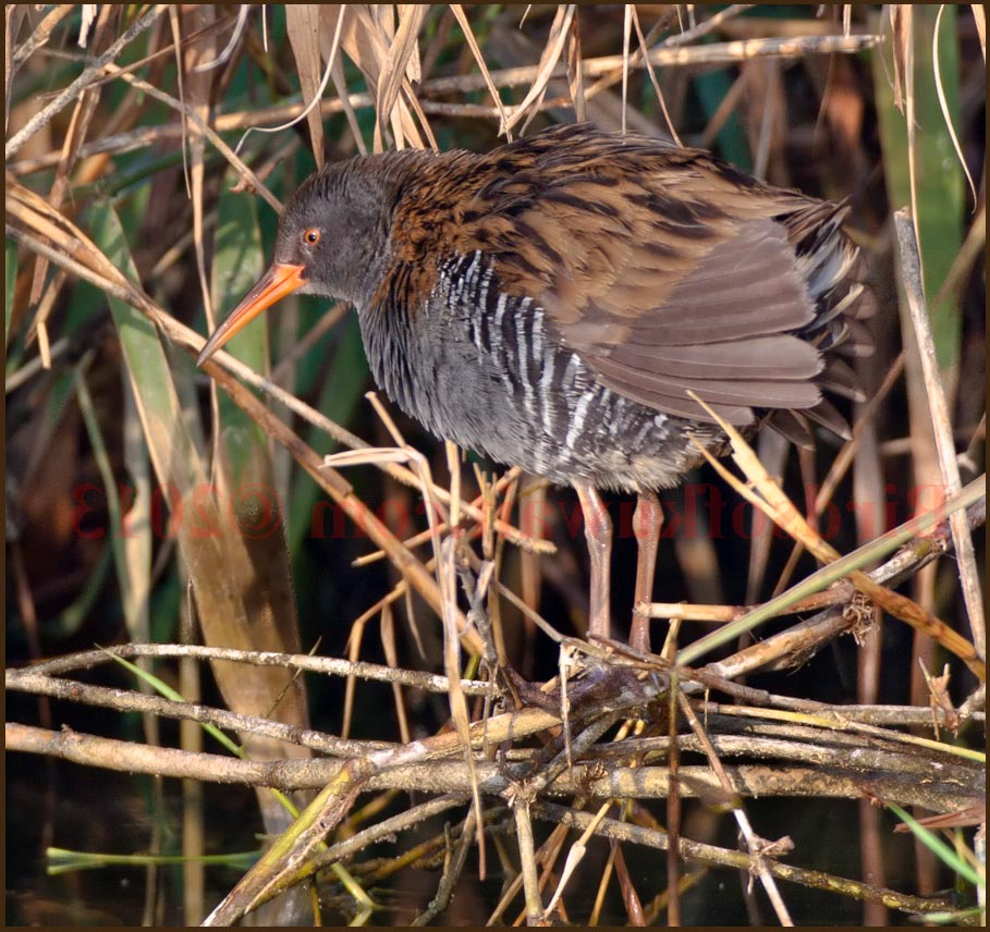 Water Rail perching on dry reed stems