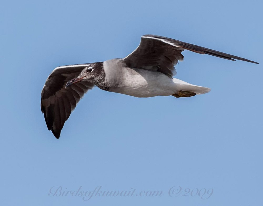 White-eyed Gull flying close