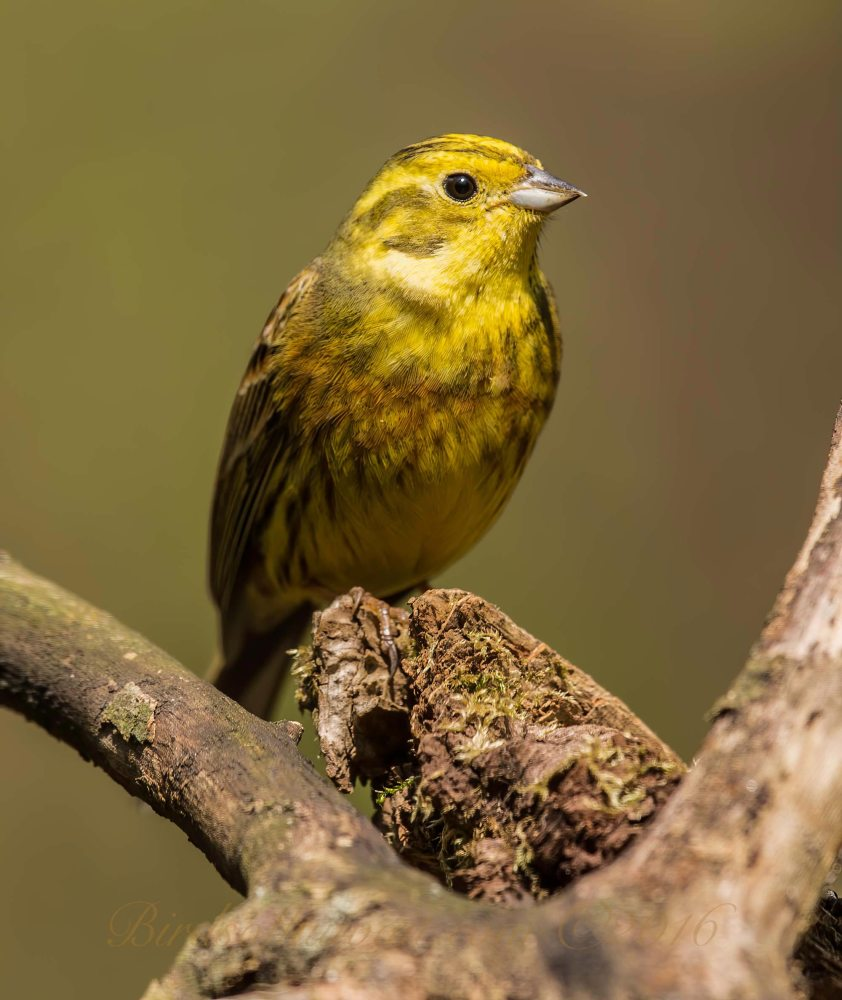 Yellowhammer perching on a branch