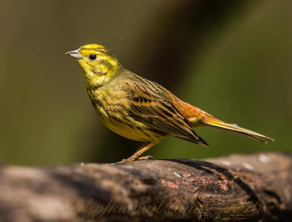 A Yellowhammer standing on a log