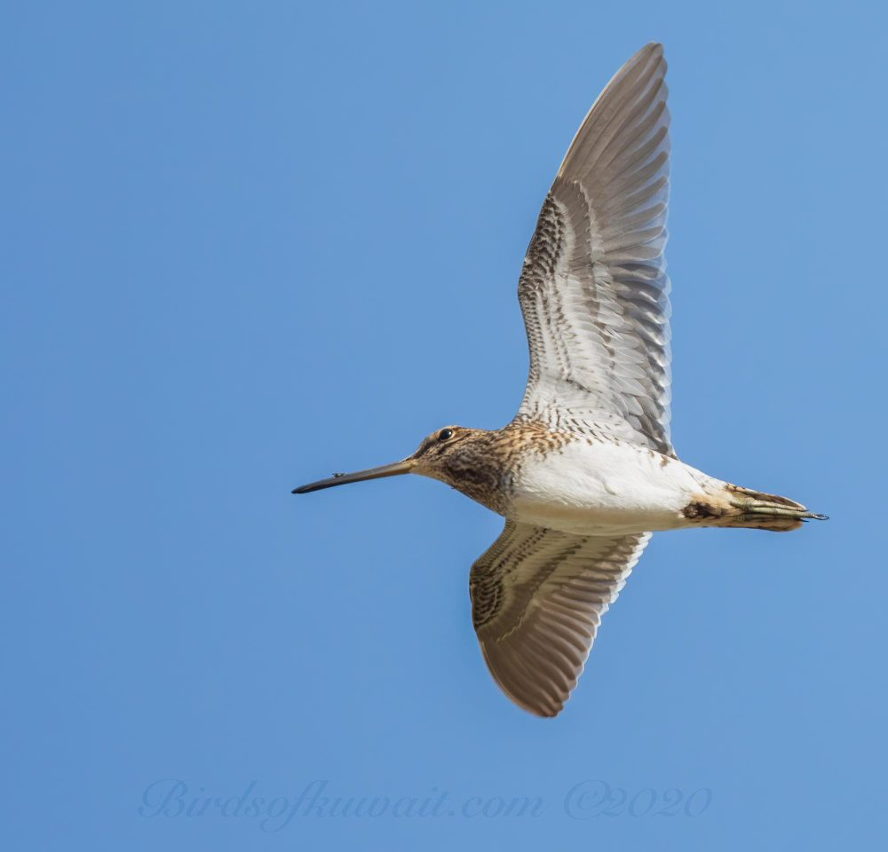 Common Snipe in flight showing underwing