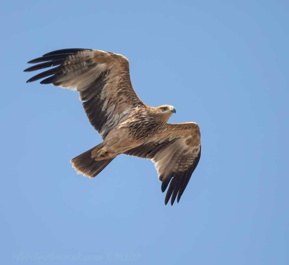 Juvenile Eastern Imperial Eagle in flight