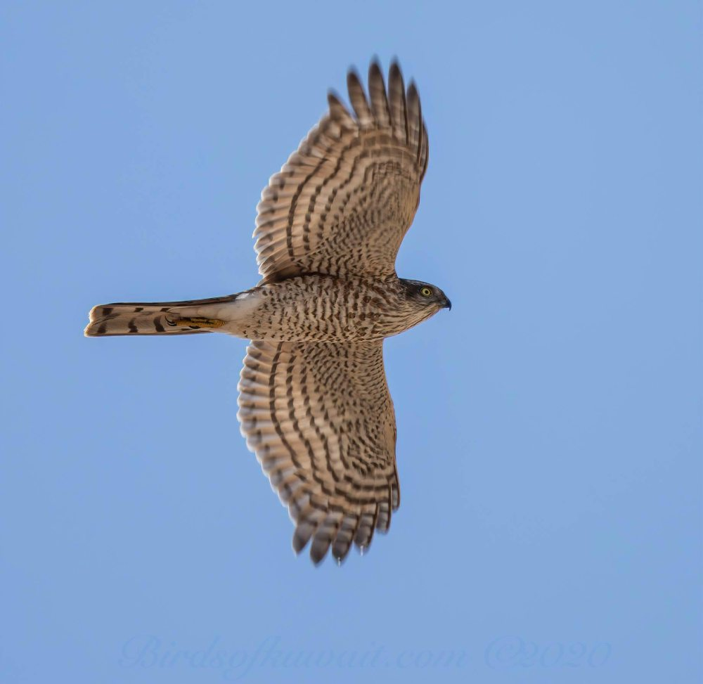 Eurasian Sparrowhawk in flight