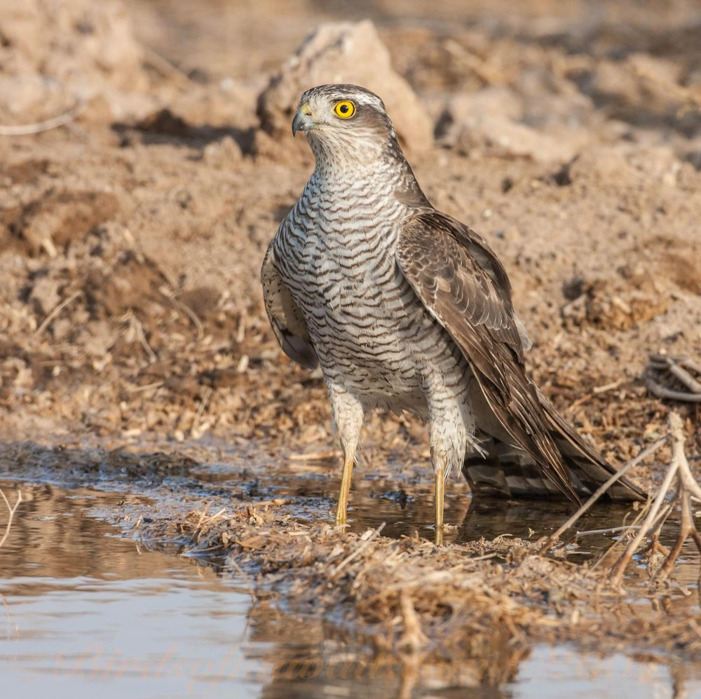 Eurasian Sparrowhawk standing near water