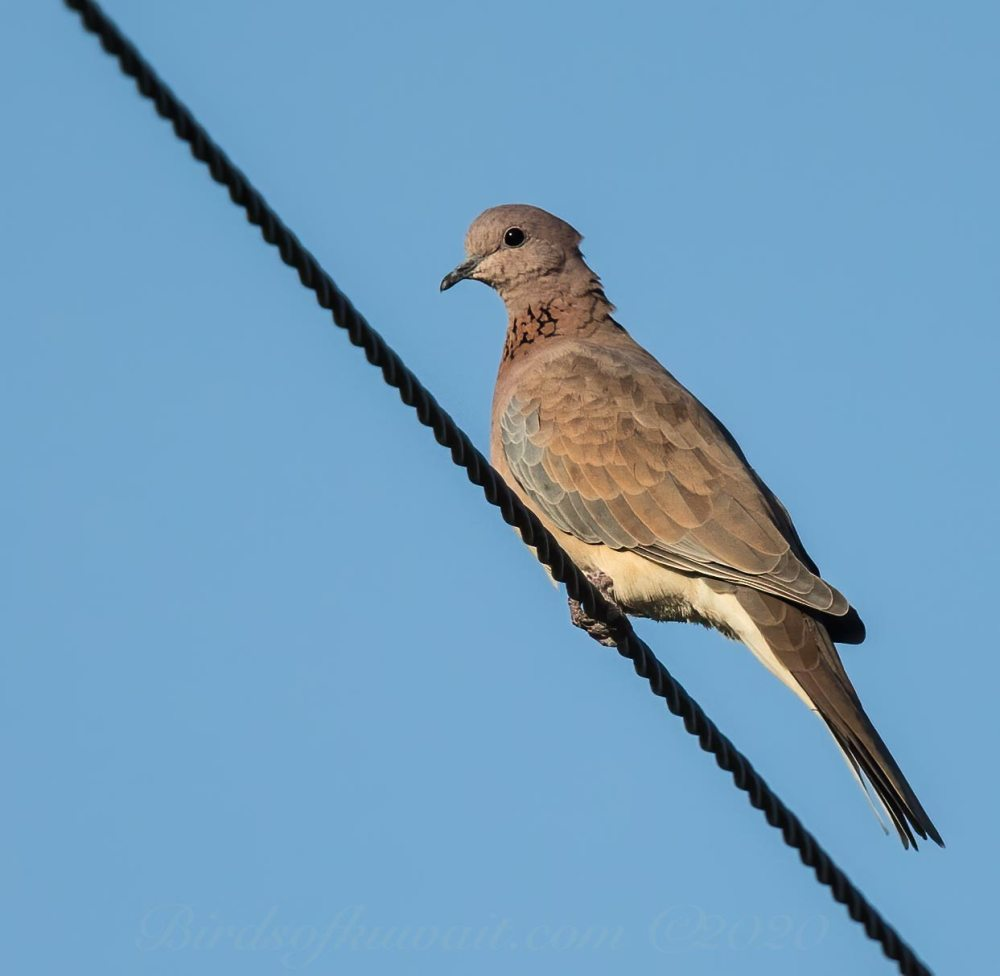 Laughing Dove perching on a pylon