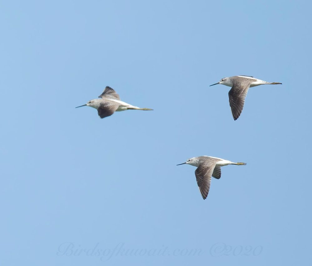 3 Marsh Sandpiper in flight