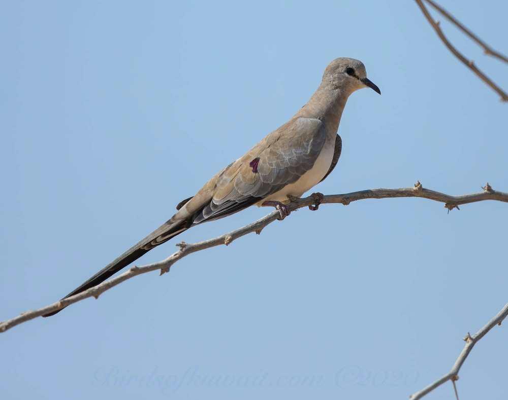 Namaqua Dove Oena capensis perching on a branch