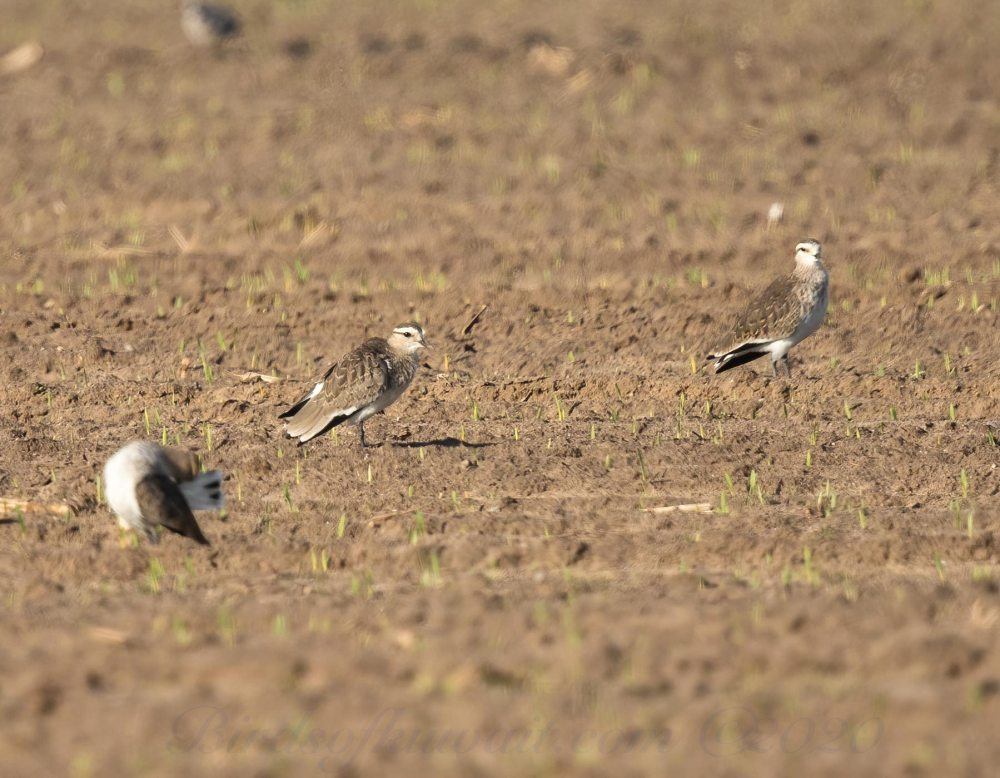 3 Sociable Lapwings standing on the ground
