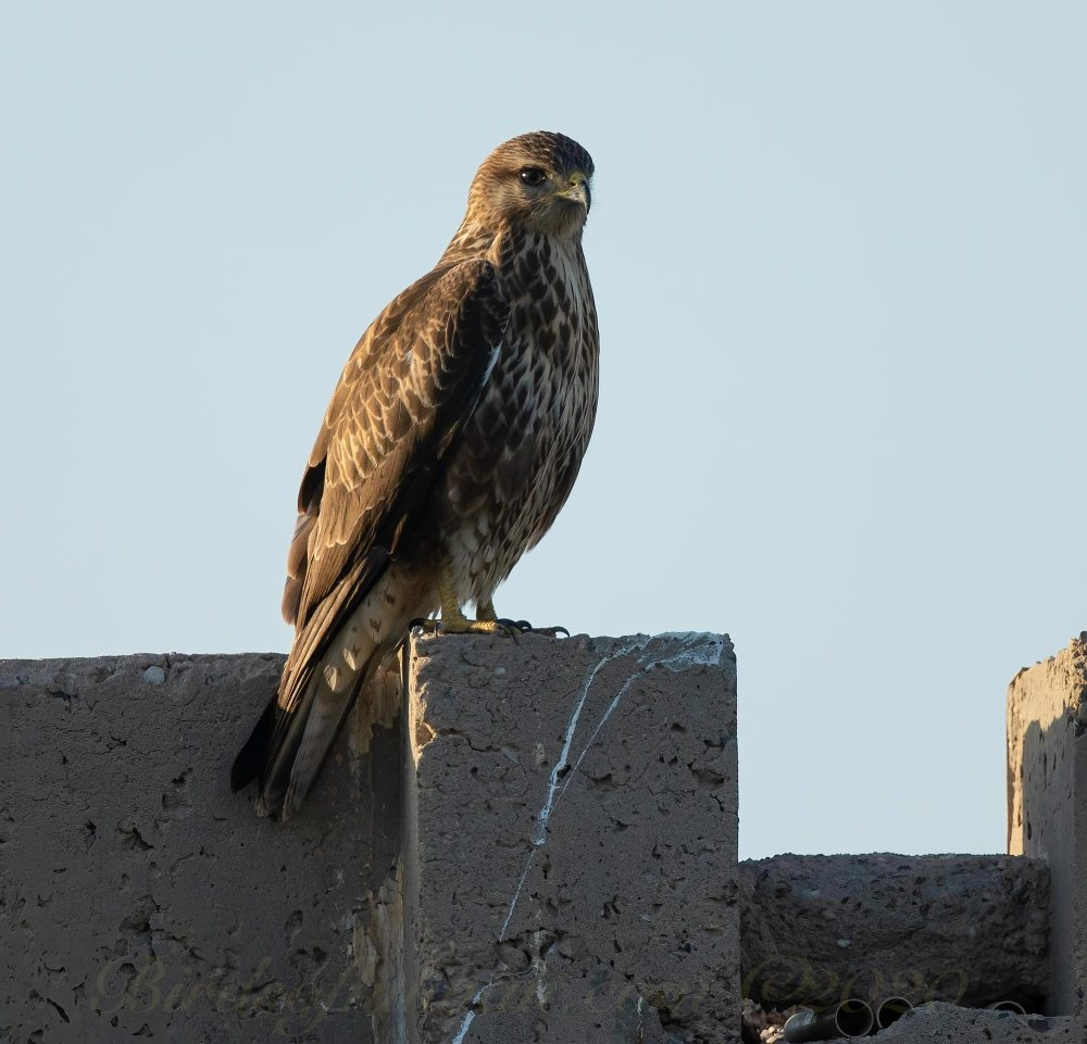 Steppe/Common Buzzard perching on a wall
