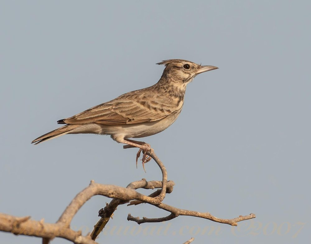 Crested Lark perching on a branch