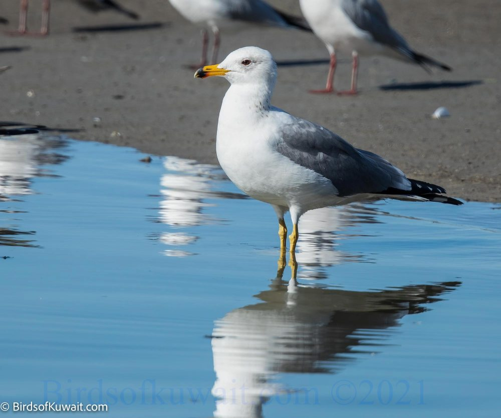 Armenian Gull Larus armenicus standing in water
