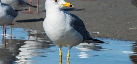 Armenian Gull Larus armenicus standing in water