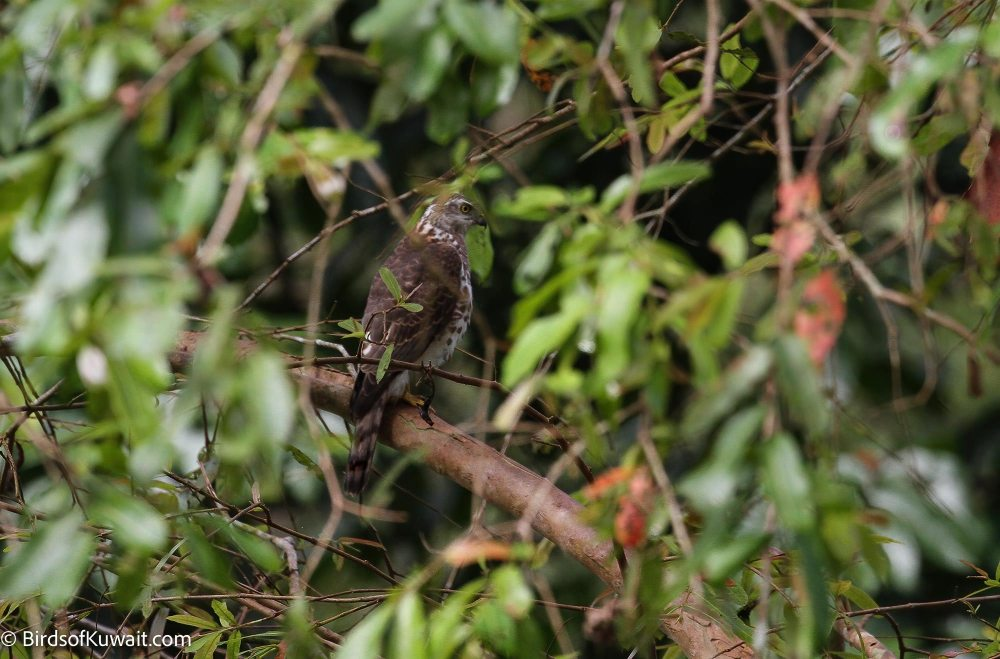 Besra Accipiter virgatus