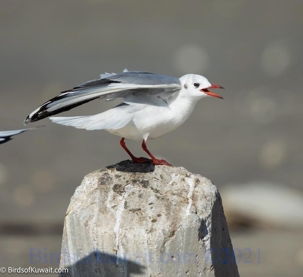 Black-headed Gull Chroicocephalus ridibundus standing on a rock