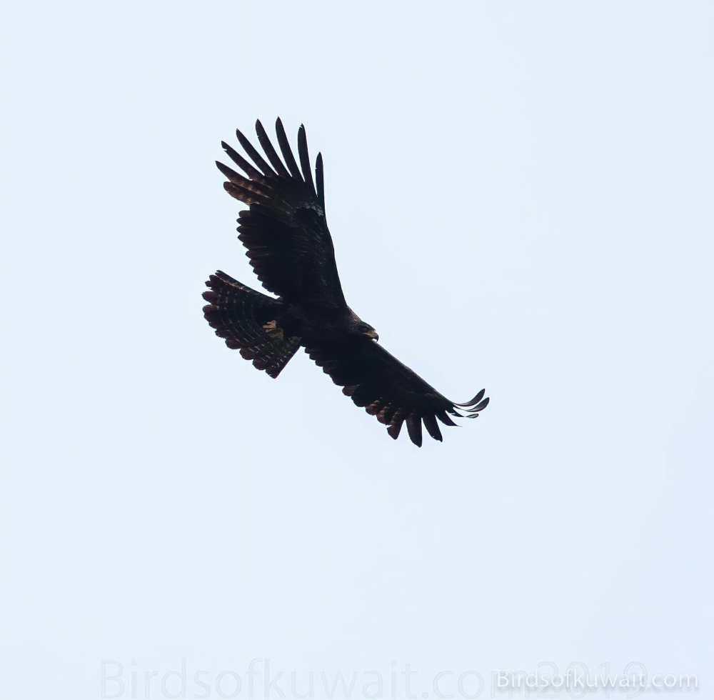Black Eagle Ictinaetus malaiensis
