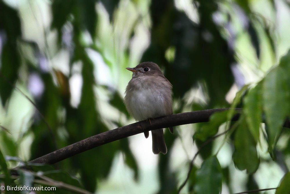 Brown-breasted Flycatcher Muscicapa muttui