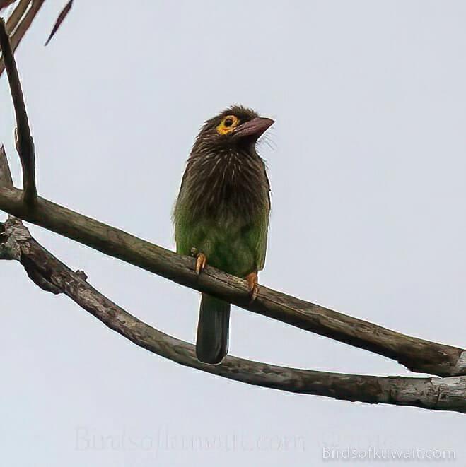Brown-headed Barbet Psilopogon zeylanicus