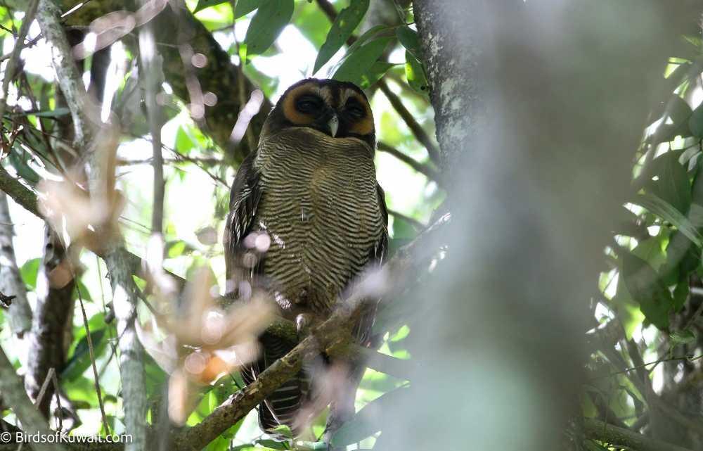 Brown Wood-Owl Strix leptogrammica