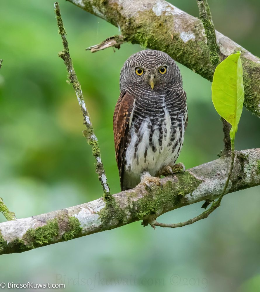 Chestnut-backed Owlet Glaucidium castanotum