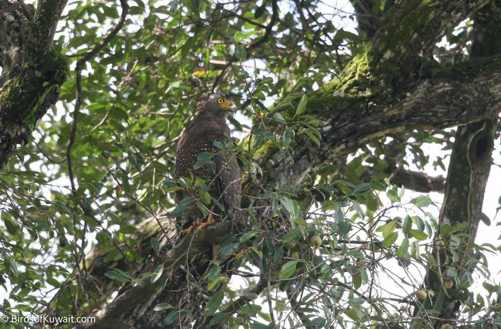 Crested Serpent-Eagle Spilornis cheela