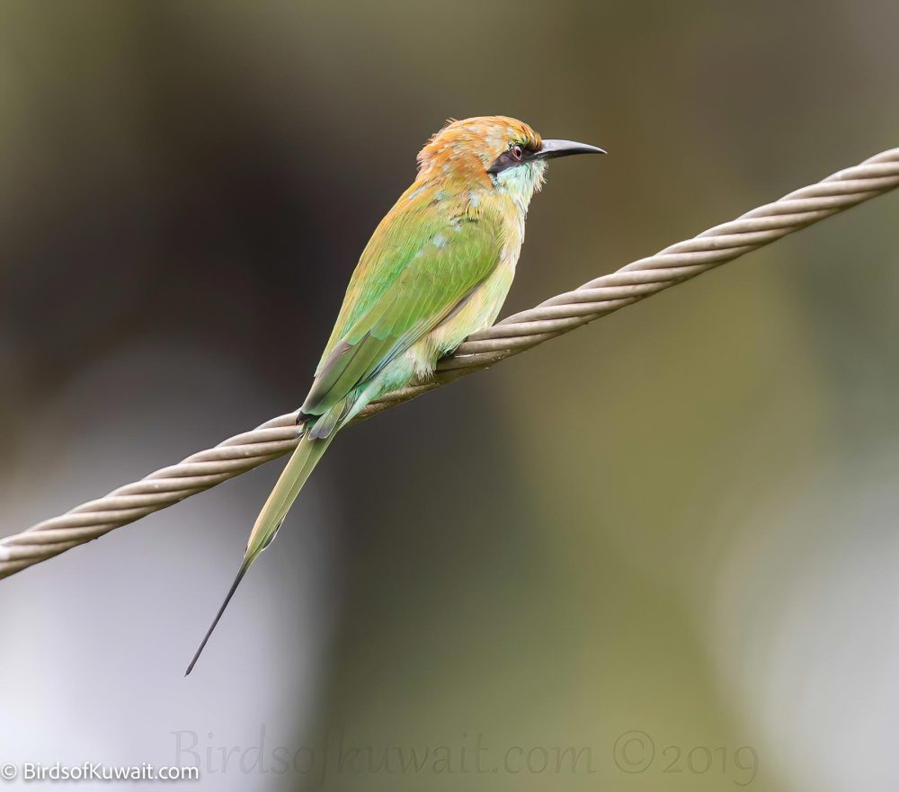 Green Bee-eater Merops orientalis