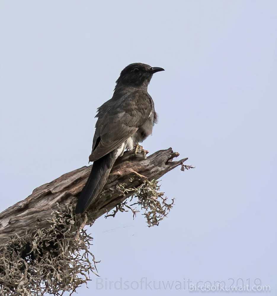 Grey-bellied Cuckoo Cacomantis passerinus