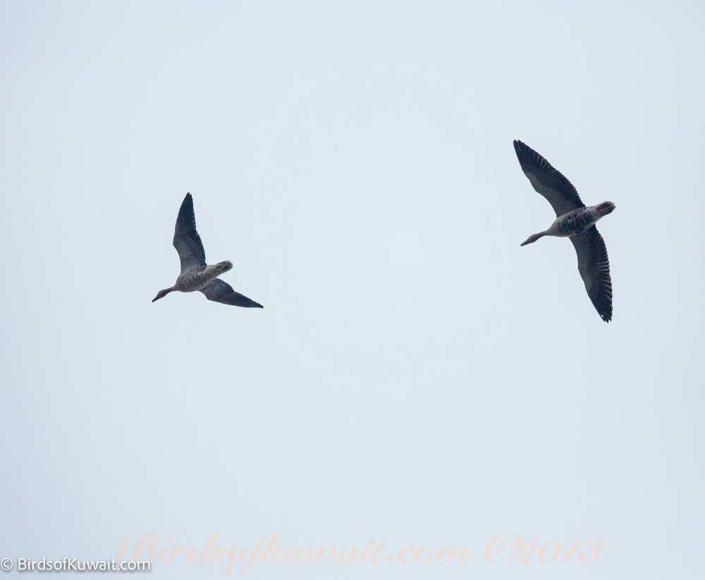 Greylag Goose Anser anser rubrirostri