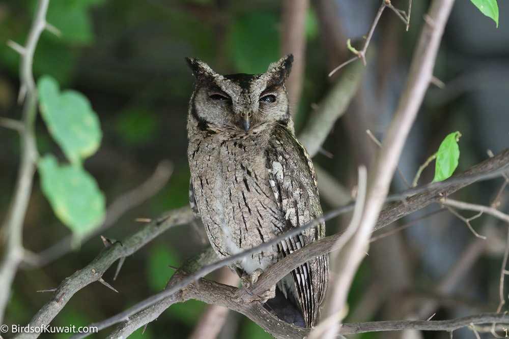 Indian Scops Owl Otus bakkamoena