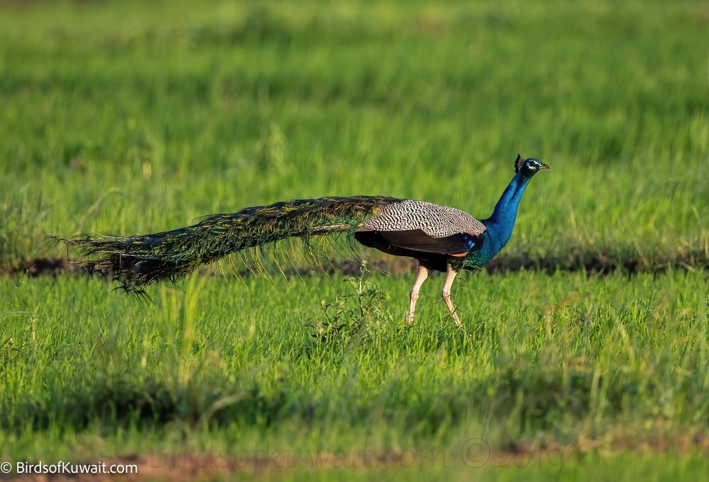 Indian Peafowl  on grass