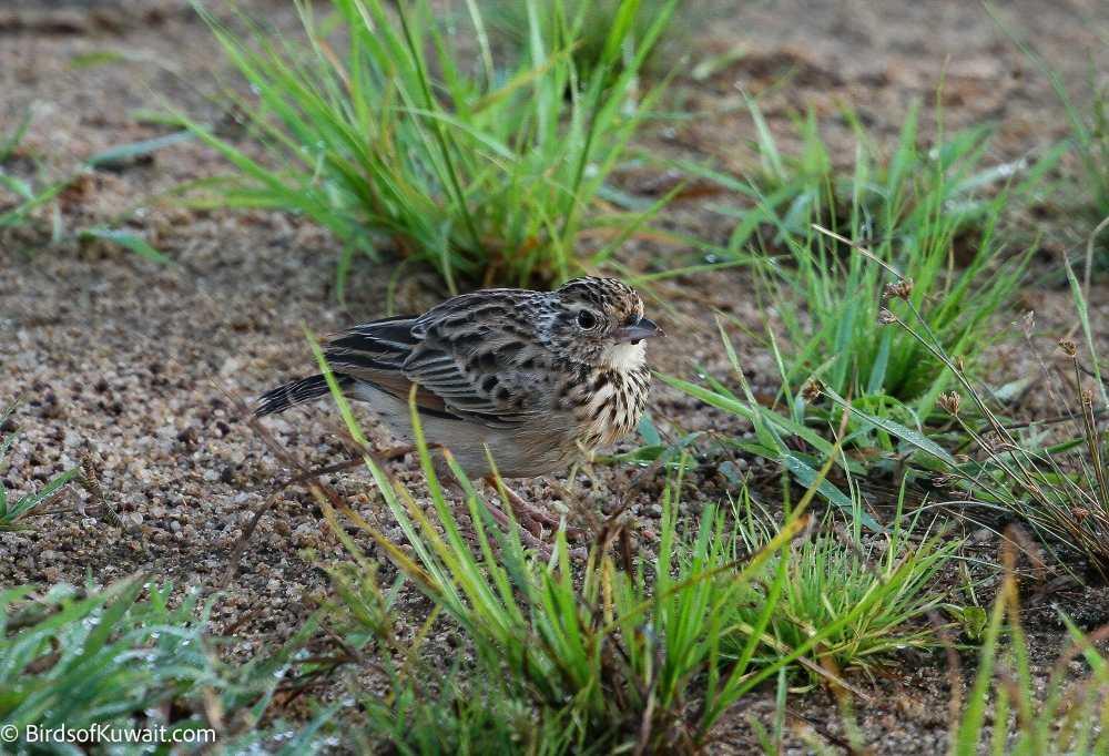 Jerdon's Bushlark Mirafra affinis