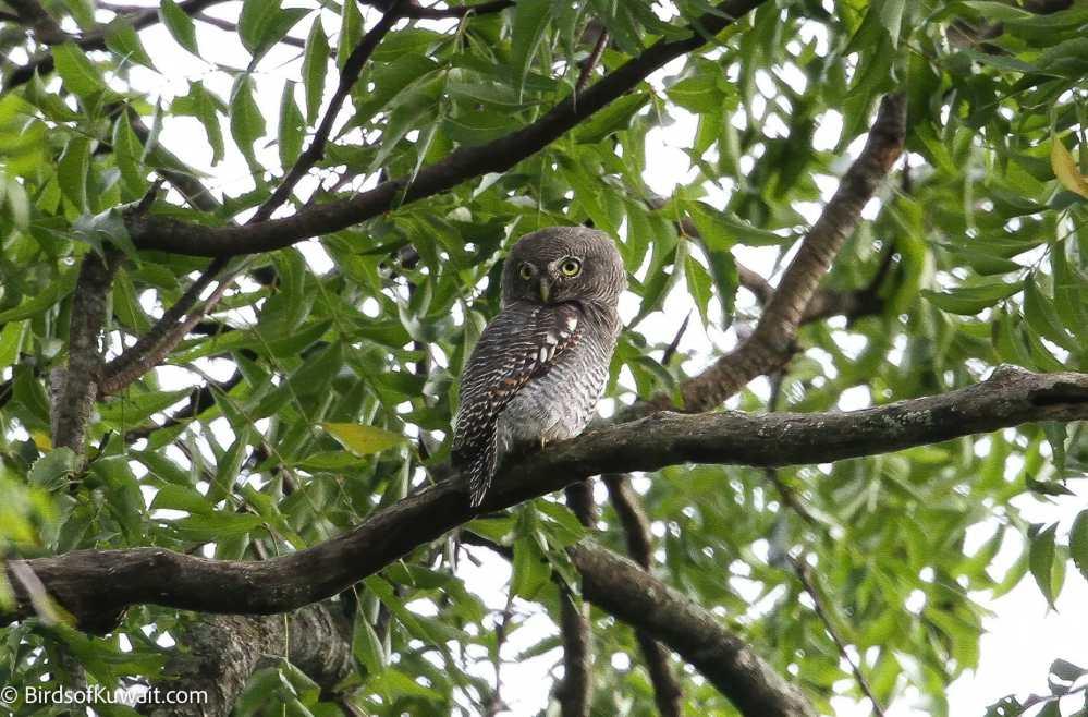Jungle Owlet Glaucidium radiatum