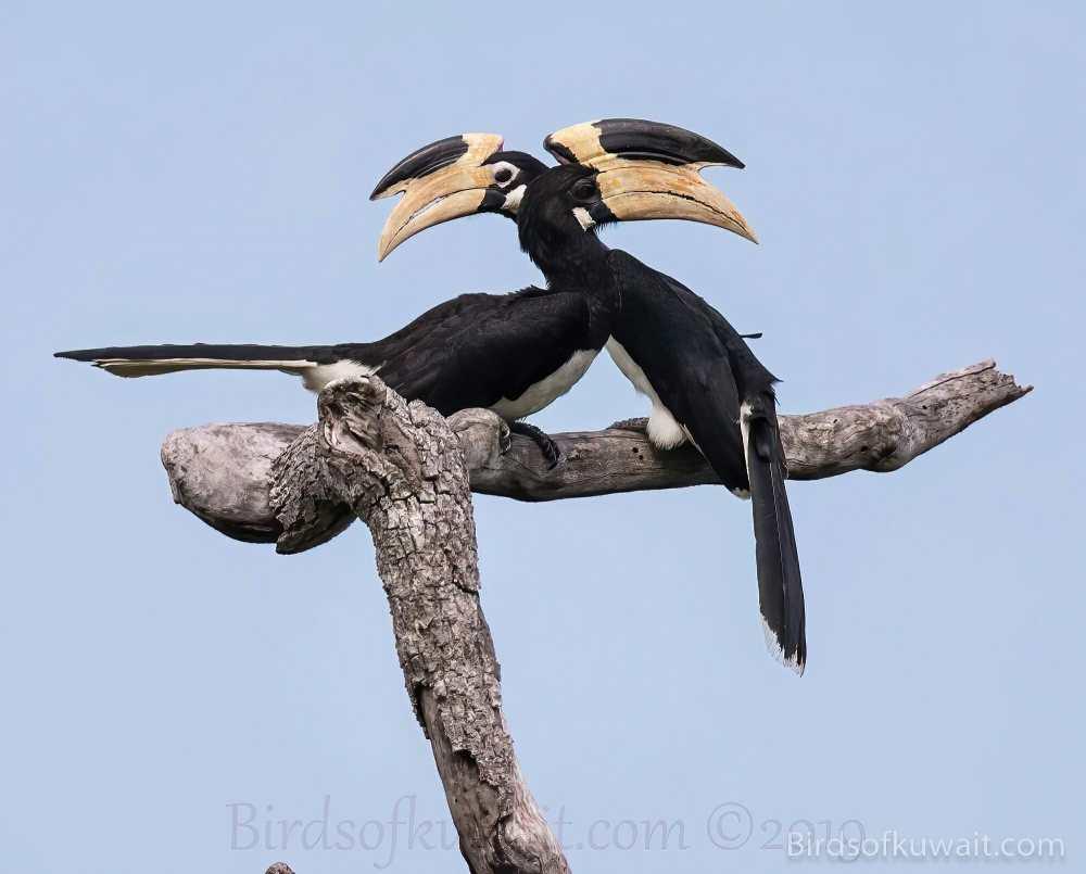 Malabar Pied-Hornbill Anthracoceros coronatus