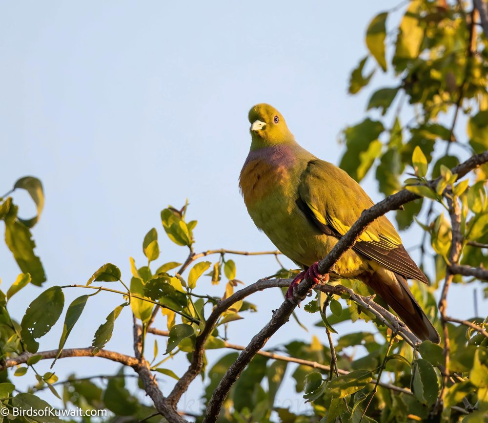 Orange-breasted Green-Pigeon Treron bicinctus
