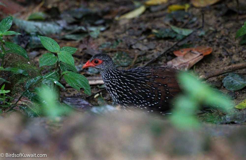 Sri Lanka Spurfowl Galloperdix bicalcarata