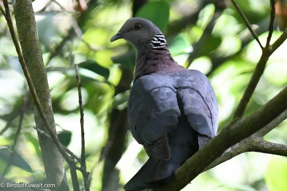 Sri Lanka Wood-Pigeon Columba torringtoniae