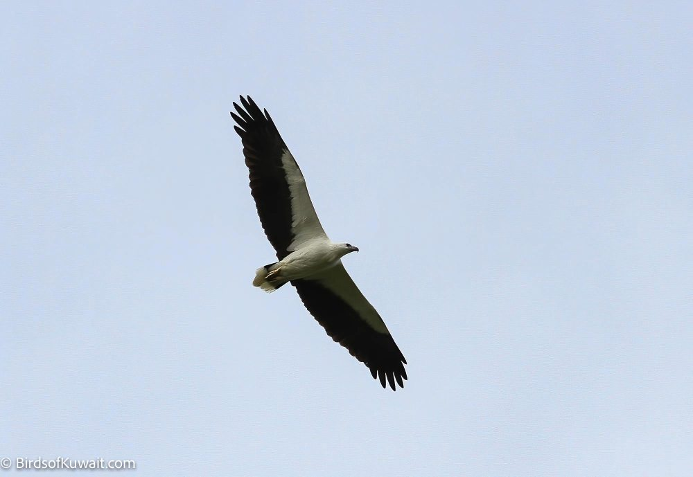 White-bellied Sea-Eagle Haliaeetus leucogaster