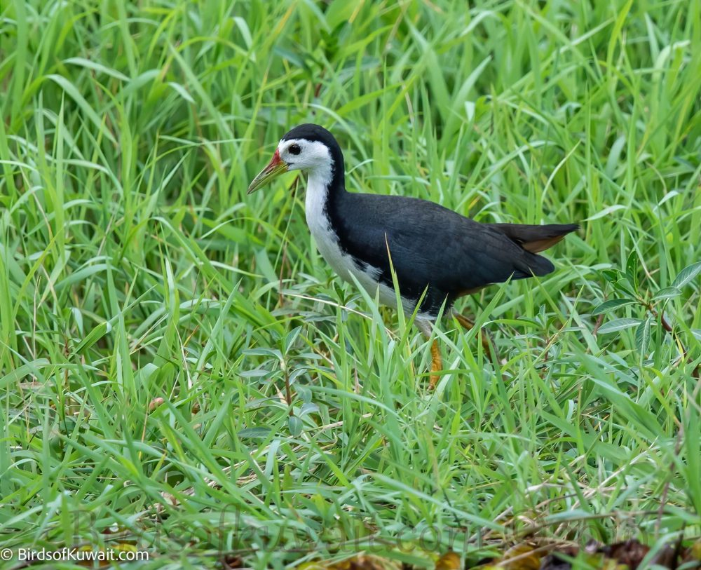 White-breasted Waterhen on grass