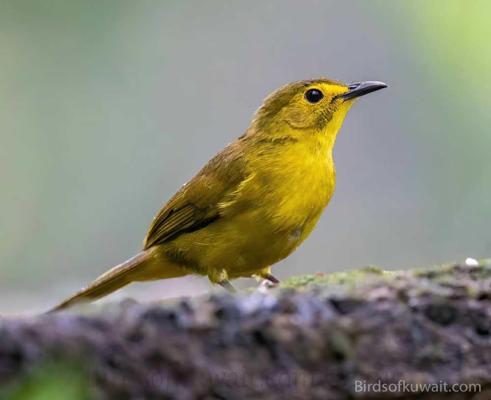 Yellow-browed Bulbul Iole indica