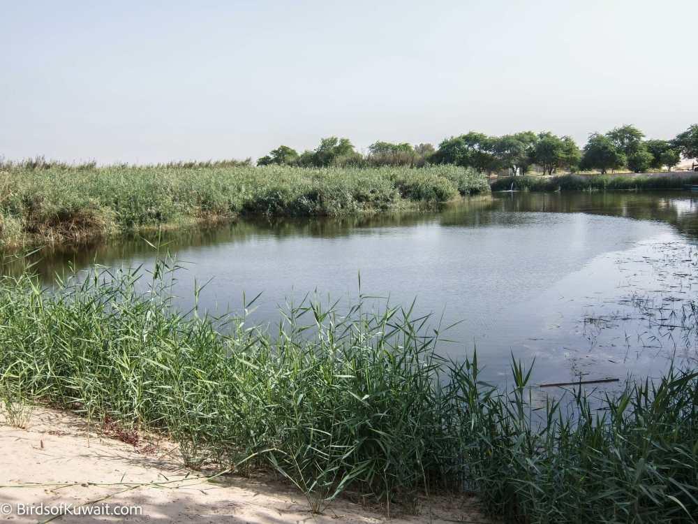 Sulaibiya Pivot Fields