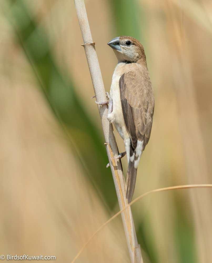 Indian Silverbill Lonchura malabarica