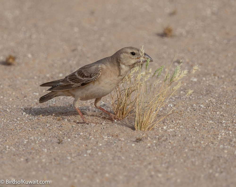 Pale Rockfinch Carpospiza brachydactyla