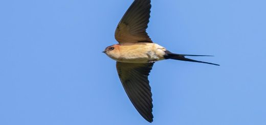 Red-rumped Swallow Cecropis daurica