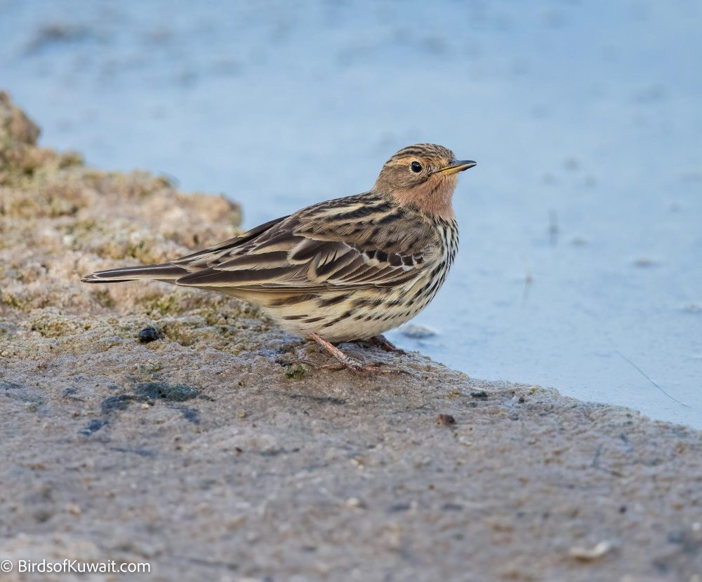 Red-throated Pipit Anthus cervinus