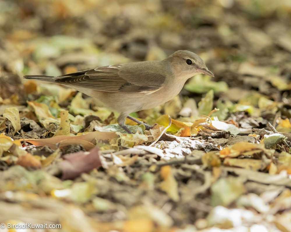 Garden Warbler Sylvia borin