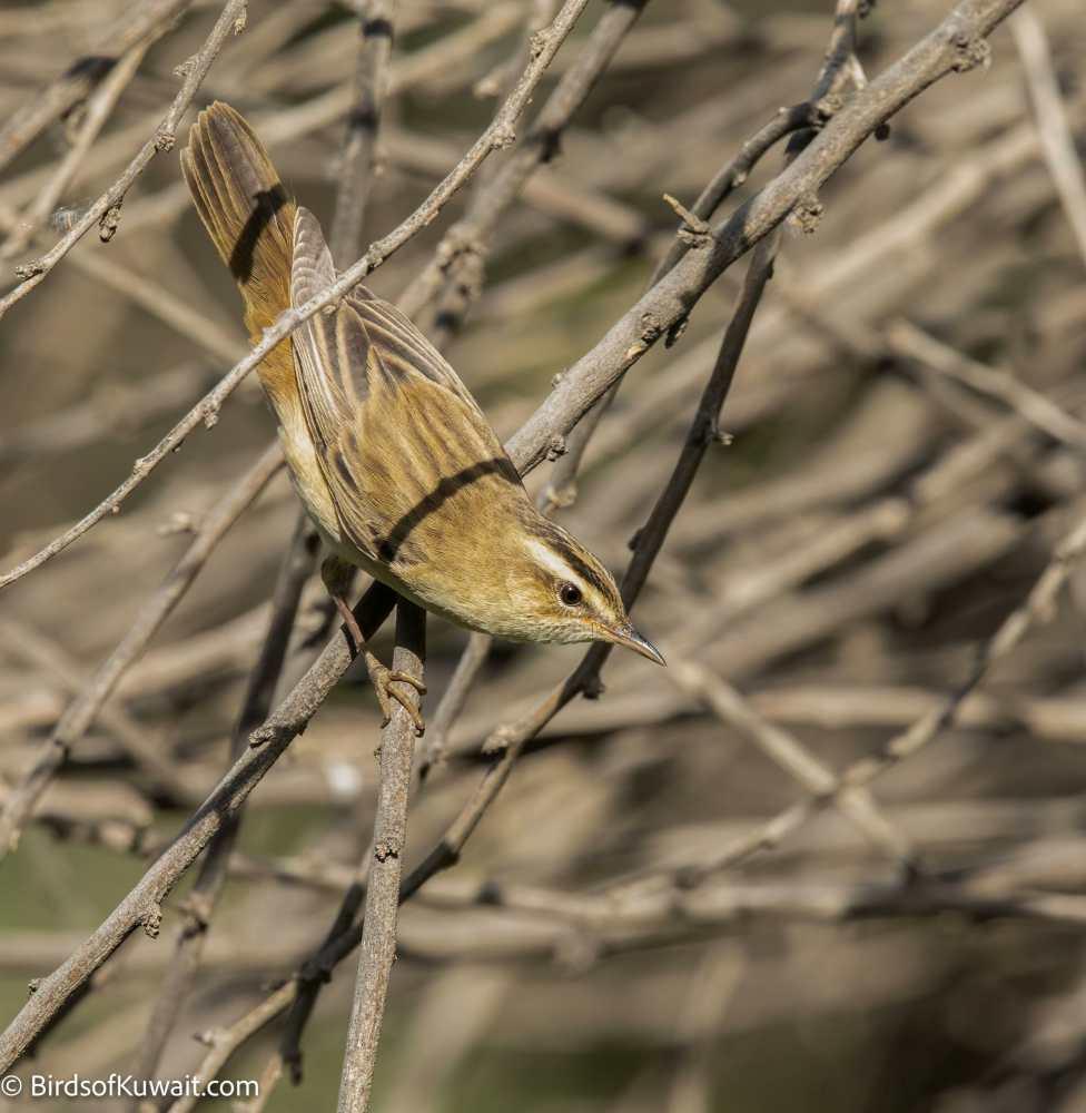 Sedge Warbler Acrocephalus schoenobaenus
