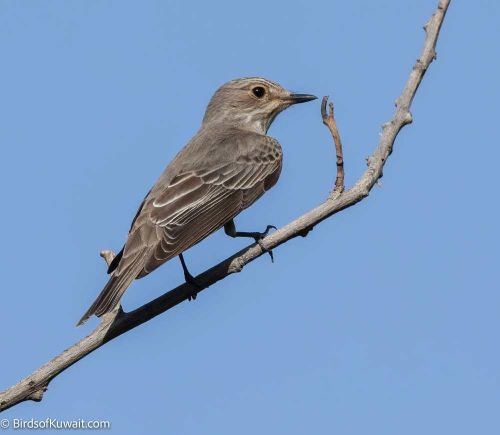 Spotted Flycatcher Muscicapa striata