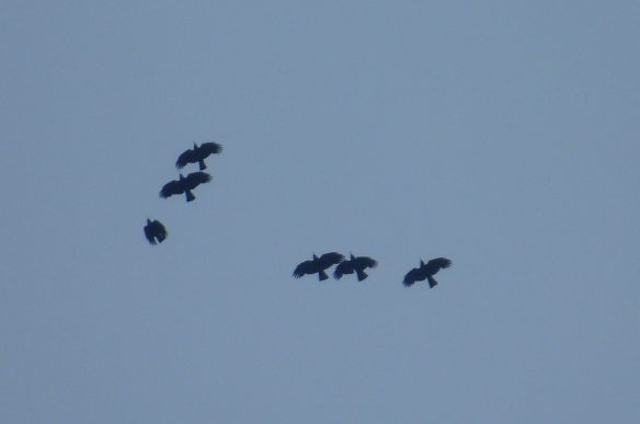 Choughs above Sorel 27-5-204. Photo by Tracy Vibert (2)