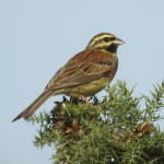 Cirl bunting. Photo by Mick Dryden
