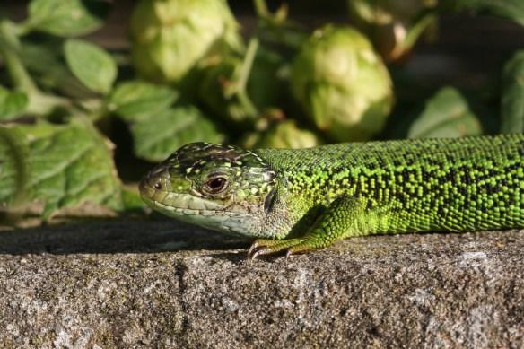 Green lizard. Photo by Miranda Collett